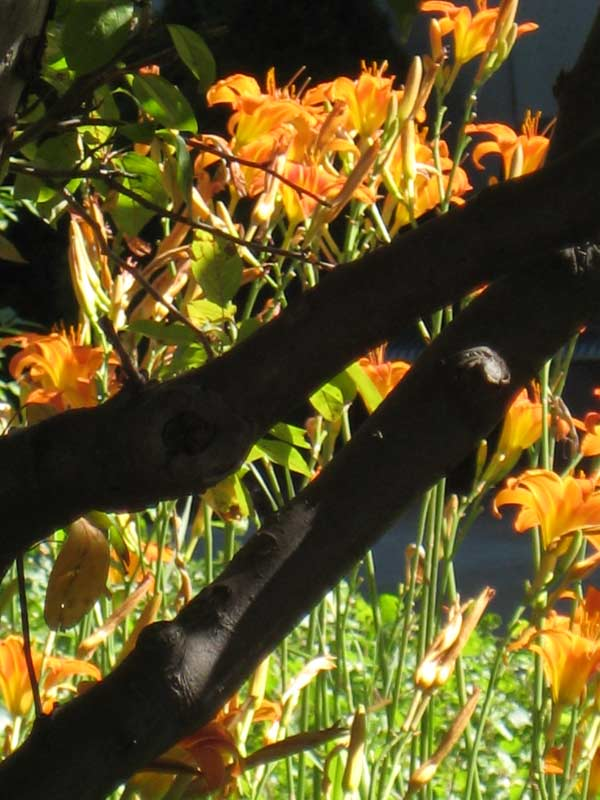 "Original photo - ""Shadows and daylilies"""
